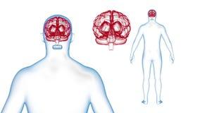 I raggi x del cervello del corpo umano effettuano la rotazione del ciclo 3d rendono royalty illustrazione gratis