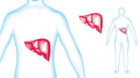 I raggi x del fegato del corpo umano effettuano la rotazione del ciclo 3d rendono illustrazione vettoriale