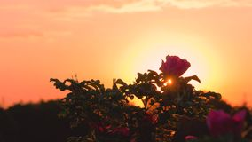 I raggi del lustro di tramonto attraverso la Rosa video d archivio
