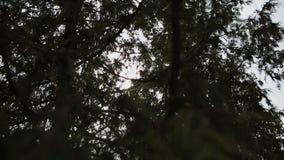 I raggi del ` s del sole fanno il loro modo attraverso i giovani rami dell'abete rosso Vento solare di estate Tempo senza vento archivi video