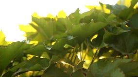 I raggi del sole all'alba tramite le foglie video d archivio