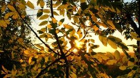I raggi del sole attraversano le foglie dell'albero Foresta di autunno contro il tramonto video d archivio