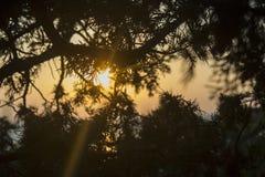 I raggi del sole attraverso i rami del ginepro fotografie stock libere da diritti