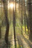 I raggi del sole nella foresta Fotografie Stock Libere da Diritti