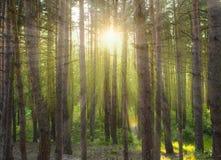 I raggi del sole nella foresta Fotografie Stock