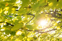 I raggi del sole splendono tramite le foglie del tiglio fotografie stock