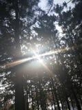 I raggi di luce solare che splendono attraverso i rami dei pini sempreverdi fotografia stock