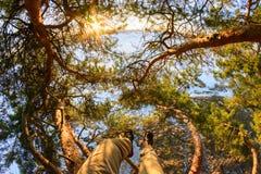 I raggi di Sun attraversano i rami di un pino Immagini Stock Libere da Diritti