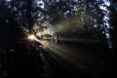 I raggi di Sun penetrano attraverso gli alberi nella foresta immagini stock