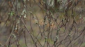 I rami coperti di muschio e di lichene ondeggiano nel vento archivi video