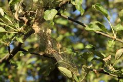 I rami degli alberi del aplle nel web di malattia L'epidemia della talpa dell'ermellino immagine stock libera da diritti