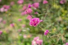 I rami dei petali rosa del fiore eterno madreperlaceo su pianta lascia il fondo confuso, sanno come bottone del celibe, globo fotografia stock
