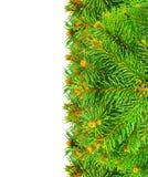 I rami del Natale si attillano su un fondo bianco. Immagine Stock
