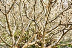 I rami dell'albero del frangipane fotografie stock libere da diritti
