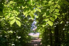 I rami dell'albero di olmo sopra il sentiero nel bosco fotografia stock libera da diritti
