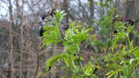 I rami della bacca di sambuco nera con i frutti hanno fluttuato nel vento stock footage