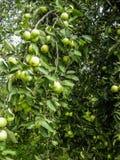 I rami della frutta di Apple Immagine Stock