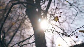 I rami di albero con le mele di paradiso ondeggiano in vento leggero stock footage
