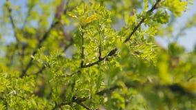 I rami di albero coperti di foglie verdi oscillano su aria video d archivio