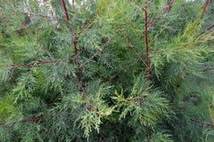I rami di albero verdi del thuja si chiudono sui dettagli come immagine di sfondo Immagini Stock