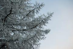 I rami di un albero in brina su un cielo del fondo Immagini Stock