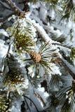 I rami di un albero di abete con il cono hanno accatastato il livello con neve Fotografia Stock