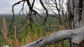 I rami di vecchio albero asciutto sono intrecciati L'albero sul pendio di collina è stato ucciso da un colpo di fulmine o da una  video d archivio