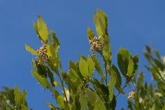 I rami e le foglie di un albero di baia su un fondo blu Immagine Stock Libera da Diritti