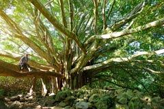 I rami e le radici d'attaccatura dell'albero di banyan gigante che cresce su Pipiwai famoso trascinano su Maui, Hawai Immagine Stock