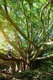 I rami e le radici d'attaccatura dell'albero di banyan gigante che cresce su Pipiwai famoso trascinano su Maui, Hawai Fotografia Stock
