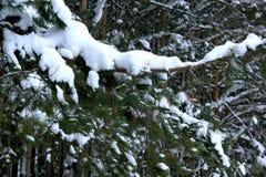 I rami verdi del pino hanno coperto la belle neve e brina fotografia stock libera da diritti