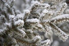 I rami verdi si attillano Neve lanuginosa bianca primo piano orizzontale Immagini Stock