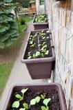 I ravanelli piantati in scatola di plastica appendono sull'inferriata del balcone dall'esterno Immagini Stock Libere da Diritti