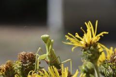 I religios femminili del mantide Mantide predatore degli insetti Immagini Stock