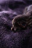 I resti del giorno scorso di un gattino del soriano sulla coperta scura Fotografia Stock Libera da Diritti