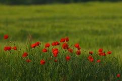 I rheas rossi del papavero del papavero sistemano profilato su verde Fotografia Stock Libera da Diritti