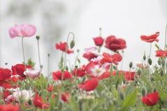 I rhoeas del papavero fioriscono sbocciare con il fondo verde immagine stock libera da diritti