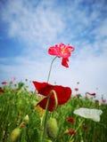 I rhoeas del papavero fioriscono sbocciare con il fondo verde fotografia stock