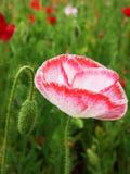 I rhoeas del papavero fioriscono sbocciare con il fondo verde immagini stock libere da diritti
