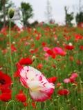 I rhoeas del papavero fioriscono sbocciare con il fondo verde fotografia stock libera da diritti