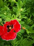 I rhoeas del papavero fioriscono sbocciare con il fondo verde fotografie stock