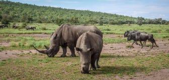 I rinoceronti e lo gnu mangiano l'erba sulla savana immagine stock