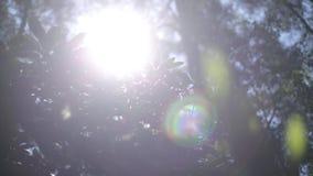 I rododendri porpora fioriscono nel giardino dell'estate al sole stock footage