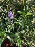 I rosmarini piantano con il piccolo fiore porpora Fotografie Stock