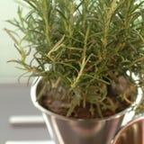 I rosmarini piantano in un vaso di fiore Fotografia Stock