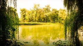 I salici si sviluppano nella foresta, autunno immagini stock