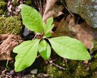 I sasso frasso piantano sul pavimento della foresta Fotografia Stock Libera da Diritti