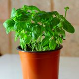 My basil in the morning sun stock image