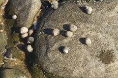 I saxatilis del Littorina, vinca ruvida, sguscia l'aderenza alla roccia Fotografia Stock