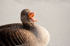 I say. Lively Greylag goose sitting on the ice and talking to the camera Royalty Free Stock Photo